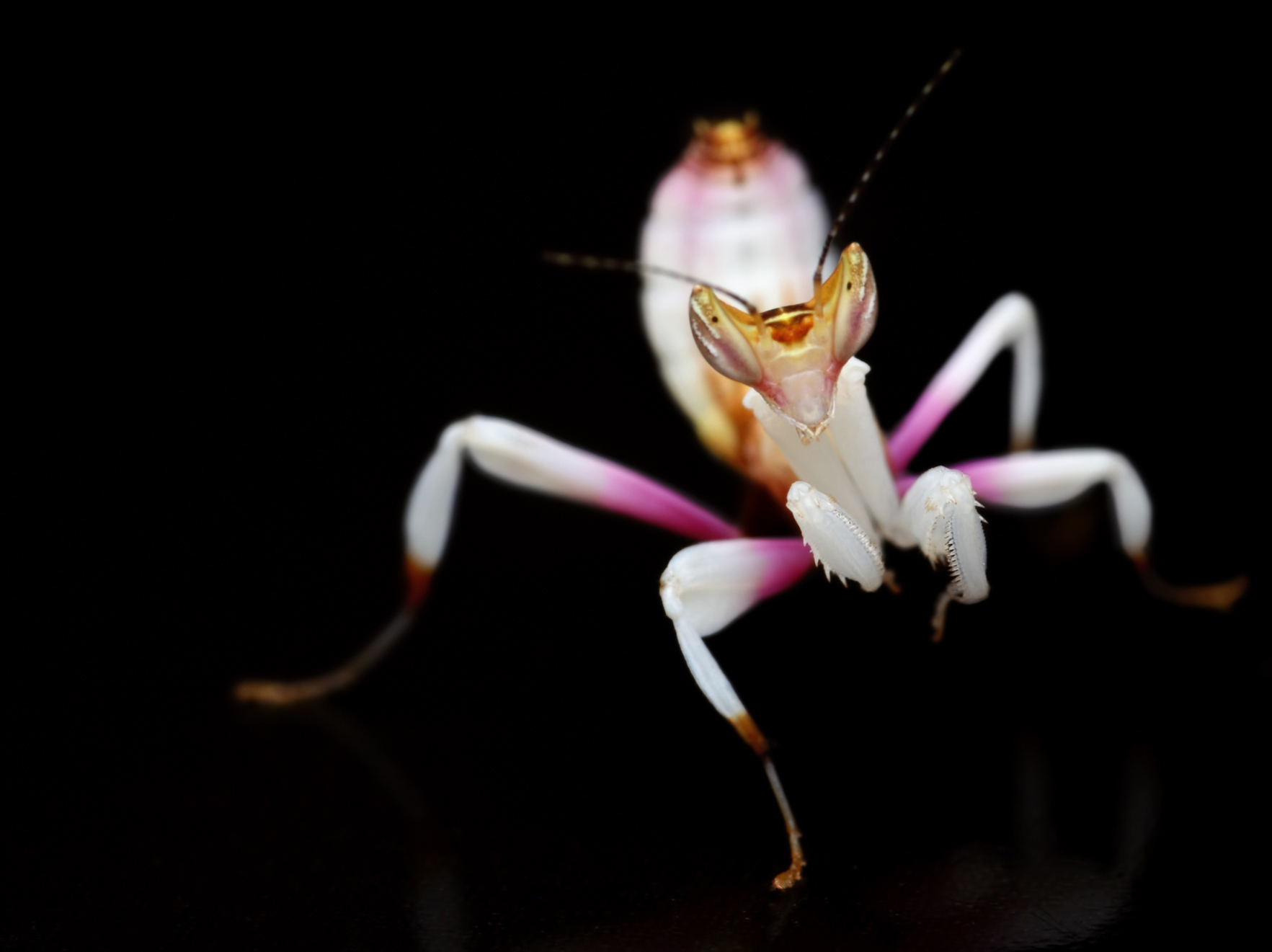 orchid mantis on black background