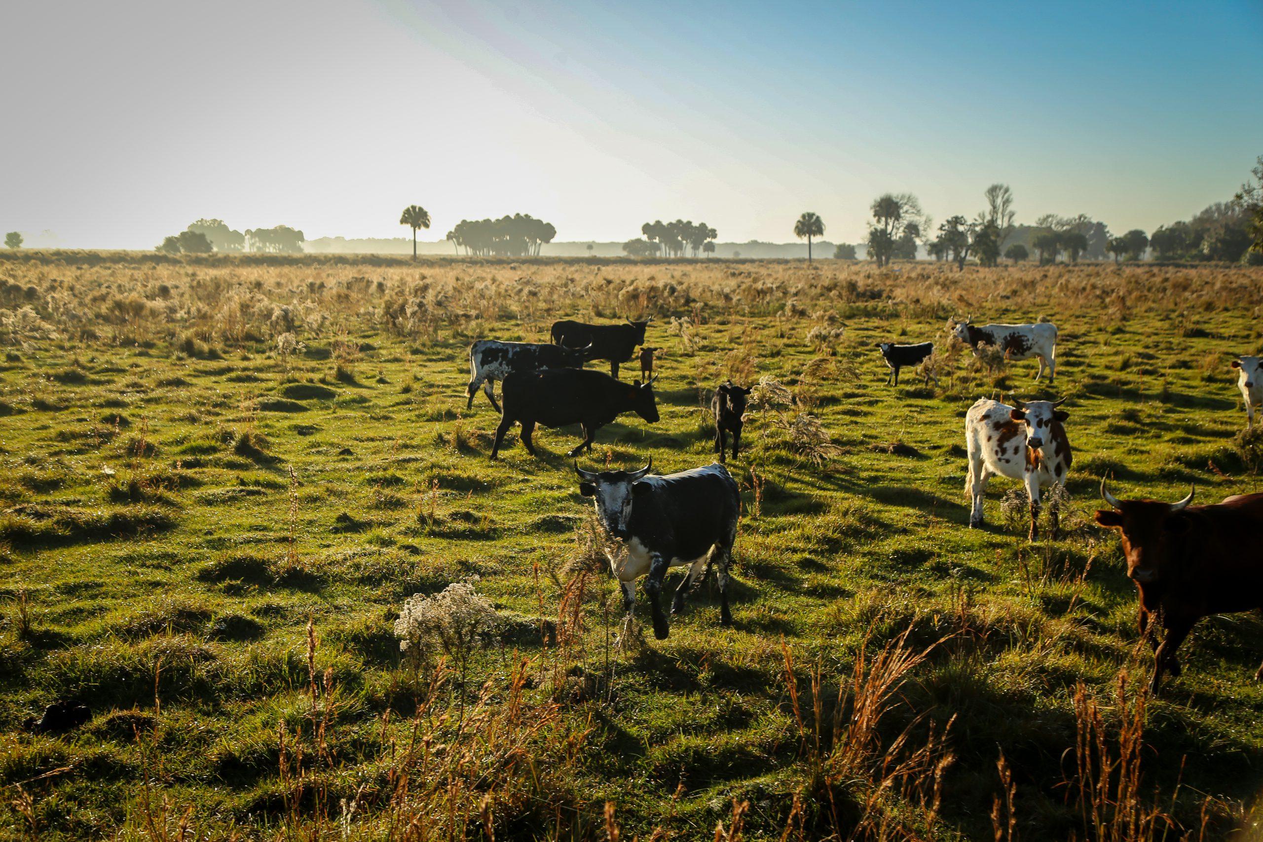 cattle ranch in Venus, Florida