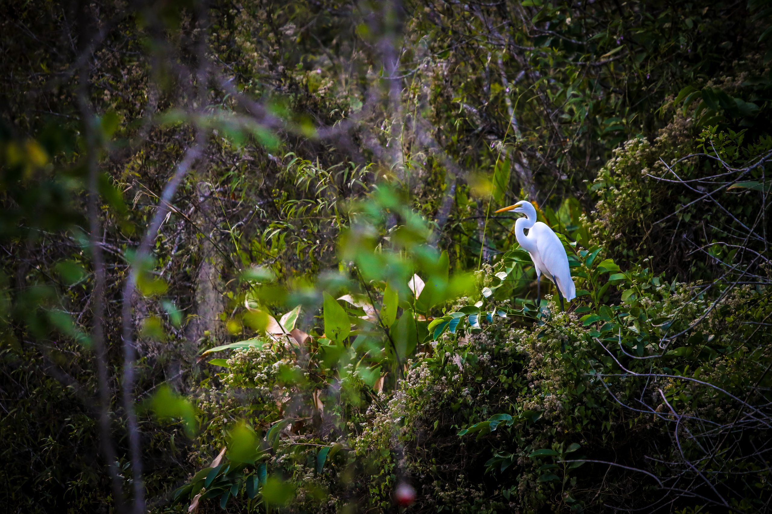 Great egret on tree branch